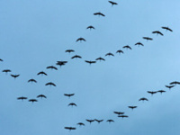 Apr_geese_060313_sp